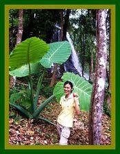 *UNCLE CHAN* BULB GIANT ELEPHANT EAR TARO Colocasia gigantea VERY RARE EDIBLE