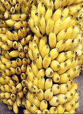 5 Dwarf Banana Seeds -Musa Acuminata EDIBLE BANANA
