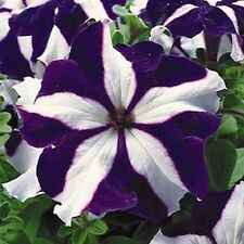 Petunia Ultra Blue Star F1 HYBRID  Beautiful Blossoms Early  25 Pelleted Seeds
