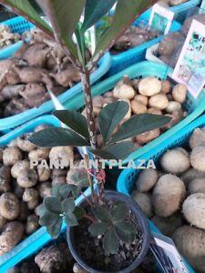 2 BULBS AMORPHOPHALLUS ATROVIRIDIS VOODOO LILY ARACEAE PLANT RARE FRESH