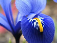 Dwarf Iris Reticulata Harmony,fragrant, royal-blue  w white,12 Flowers Bulbs