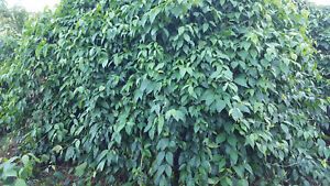 Organic Banisteriopsis Caapi Leaves or Vine Dried - Mature Vine - A+ grade mulch