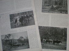 Photo article Timber Felling and Hauling in Queensland Australia 1904