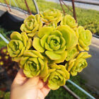 3 Live Fresh Aeonium 'Lily Pad' Succulent Cuttings Clippings For indoor Decor