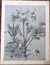 Chromolithographie de Mathurin Méheut, Primevère, fleur