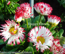 DAISY ENGLISH  MONSTROSA MIX - BELLIS PERENNIS 500 seeds BIENNIAL FLOWER