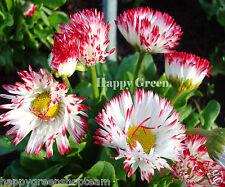 DAISY ENGLISH  MONSTROSA MIX - BELLIS PERENNIS 500 seeds BIENNIAL FLOWER