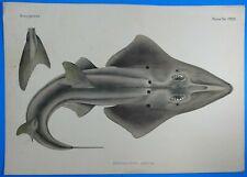 Fauna Japonica Pisces Gravure Raie Guitare Giant guitarfish 1842 Kawahara Keiga