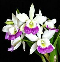 FRAGRANT ~ Cattleya Brassavola Orchid ~ Blc. Hawaii Stars 'Pink Lace'