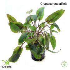 Cryptocoryne affinis Live Aquarium Plants Tropical Aquascaping Tank Co2 EU