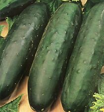 VEGETABLE  CUCUMBER MARKETMORE 76   -  160 FINEST SEEDS (INDOOR & OUTDOOR)