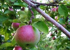 Malus pumila Dwarf Apple Tree Seeds!