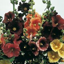 50+ Alcea Rosea Hollyhock Mix Flower Seeds / Perennial