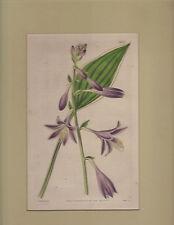1838 Curtis Botanical Print Funckia albo-marginata  Hosta #3657