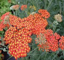 ACHILLEA millefolium 'Walther Funcke' - Hardy Perennial Plant - ex 9cm Pot