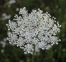 ☺1000 graines de fleur de l évêque.  ammi majus. bishops flower