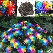 200 PCS./Rainbow  Chrysanthemum Flower Seeds China Flower Seeds for Home Garden