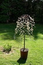 Salix caprea Pendula Hänge-Kätzchenweide Stämmchen 100 cm Stammhöhe Bieneweide