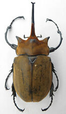 Megasoma elephas male from MEXICO , Länge :110,28 mm , K5-7