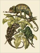 Premium-Poster Chamaeleonidae (Chamäleons) - Wunderkammer Collection