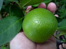 20 SEEDS Thai Tropical Key Lime Citrus Aurantifolia Fresh Seeds IN YEAR 2017