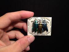 Entomologie insecte Superbe trio de Sagra longicollis A1 de Thailande!!