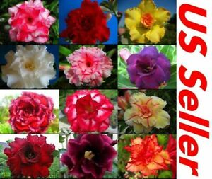 5 Adenium Obesum Desert Rose Seeds Mixed Varieties  USA SELLER