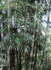 Male Bamboo - DENDROCALAMUS STRICTUS - 12  Seeds - Tropicals