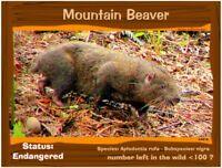 The Mountain Beaver postcard, a California Endangered Animal alert