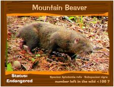 The Mountain Beaver postcard, a California Endangered Animal alert