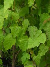 acer ginnala Alveole 1 Pflanze 1 plant Ahorn Dell'Amur
