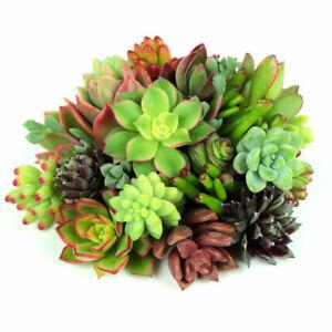 Succulents Cuttings 5-100pcs