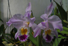 Neu C. jenmanii var Berlin Star Cattleya Orchidee Jungpflanze