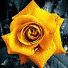 30 pcs Flor de rosa de oro rara semillas de plantas de crecimiento Natural rosas