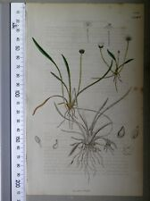 English Botany, Smith, Sowerby, handcoloured copperplate, 538*, 3.Edition,1850.