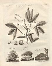 1797 georgiano stampa ~ HYSTRIX H. CRISTATA porcipine prehensilis Manihot