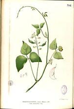 10 GRAINES DE HARICOT DE LIMA (Phaseolus lunatus)Burma bean SEEDS SAMEN SEMILLAS