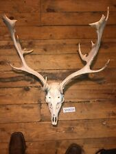 Fallow Deer Skull Home Hill Country Hunting Exotic Rustic Western Decor Sf0039