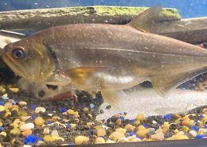 "armatus payara / vampire fish 14"""