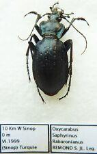 Carabus oxycarabus saphyrinus rabaronianus (male A1) from TURKEY