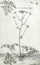 Orcoselinum majus, Grande Persil Botanica Geoffroy Garsault Incisione XVIII