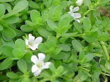 POND / AQUARIUM / WATER PLANT - Bacopa Monniera - memory plant