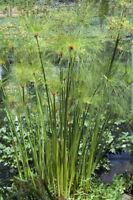 Zyperngras Grassamen für Wintergarten und Balkon geeignet blüht - immergrün.