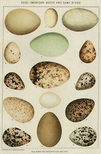 EGGS (Game & Water Birds): Authentic 1902 (Dated) Natural Stone Chromo.