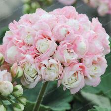 20Pcs raro Semi di Geranio Apple Blossom Rosebud Pelargonium IN VASO BALCONE PIANTE