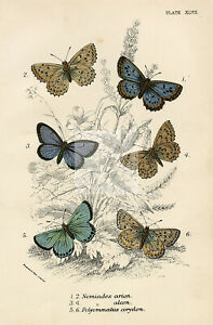 1896 Coloured Antique Butterfly Print - Lloyd's Natural History #G45