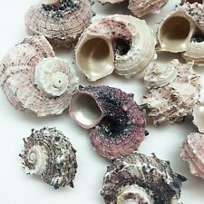 8 Pc Thick Silver Mouth Turbo Hermit Crab Sea Shells 1-1/4 Inch - 2-1/2 Inch