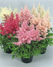Fairy Flower Seeds Astilbe Showstar Mixed approx. x25 seeds
