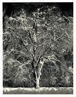 1949 Original ANSEL ADAMS Yosemite Winter Snow Tree Landscape Photo Art 11X14