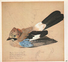 Beau Vintage Oiseau Imprimé~ Jeune Jay